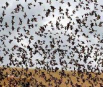 如风营销:4000亿只蝗虫在中国边境虎视眈眈!