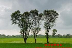 三棵树的故事