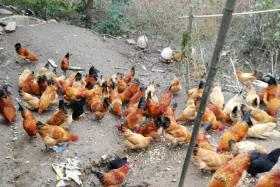如风营销:农村散养土鸡为什么卖不上高价?