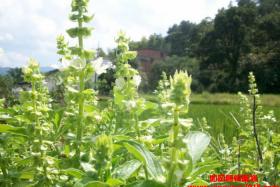 如风营销:种植香草赚钱吗?