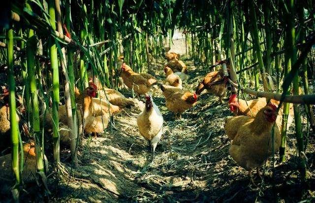 玉米地养殖笨鸡.jpg